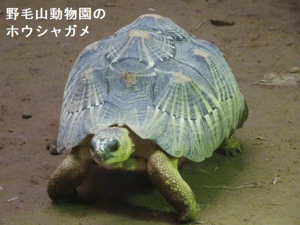 野毛山動物園のホウシャガメ