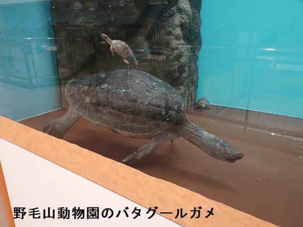 野毛山動物園のバタグールガメ