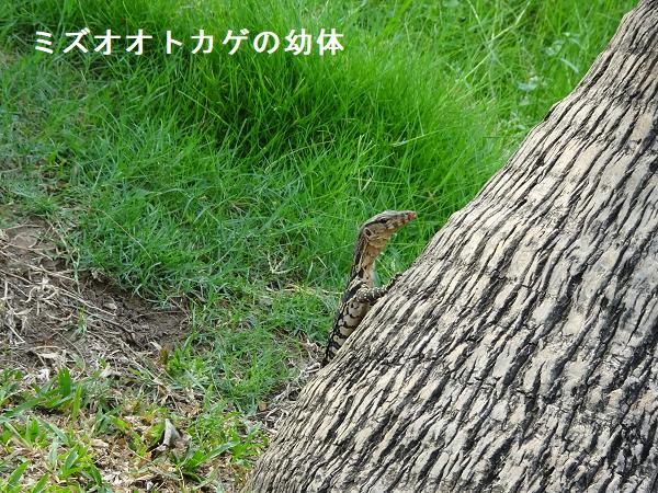 ミズオオトカゲの幼体