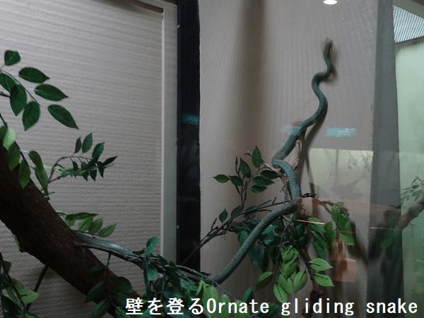 壁を登るOrnate gliding snake