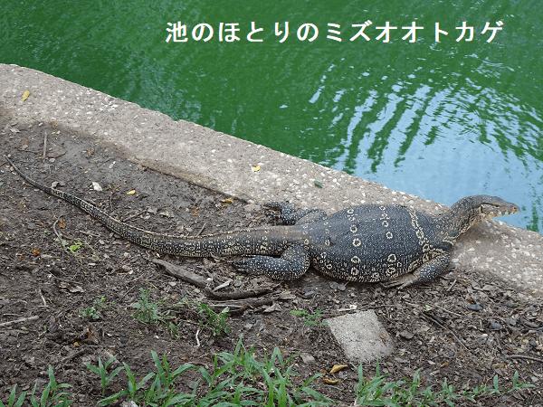 池のほとりのミズオオトカゲ