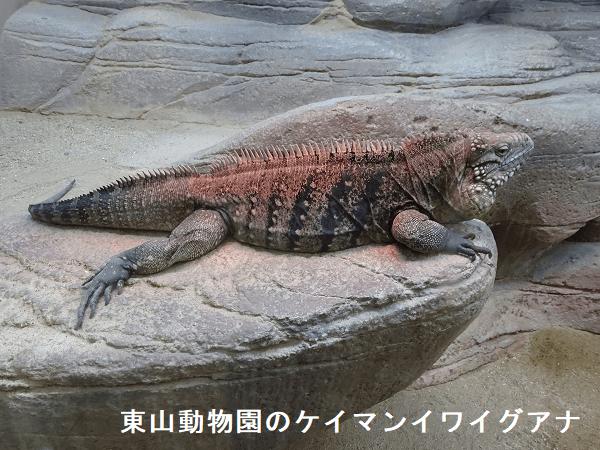 東山動物園のケイマンイワイグアナ