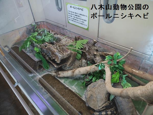 八木山動物公園のボールニシキヘビ