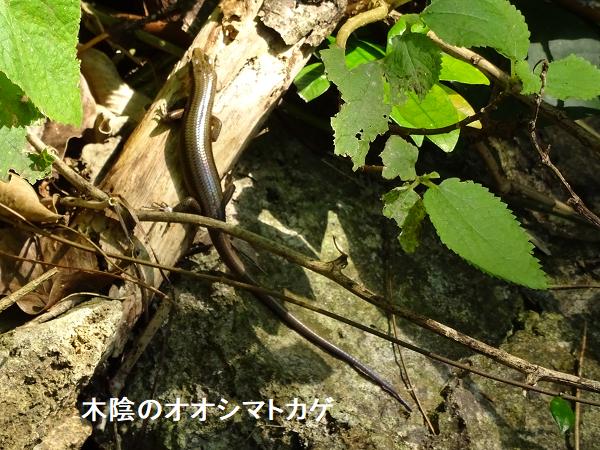 木陰のオオシマトカゲ