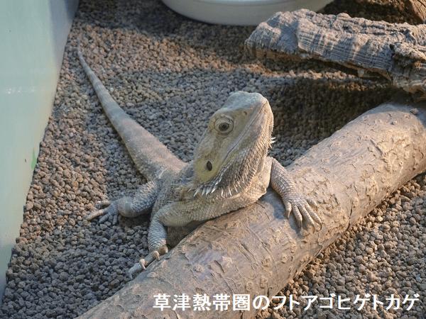 草津熱帯圏のフトアゴヒゲトカゲ