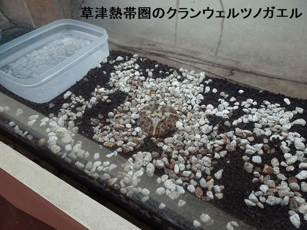 草津熱帯圏のクランウェルツノガエル飼育環境