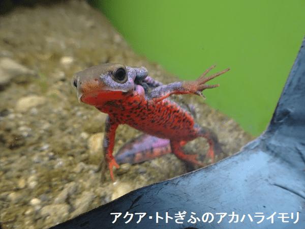 アクア・トトぎふのアカハライモリ(婚姻色)