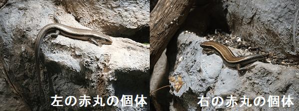 円山動物園のヒガシニホントカゲアップ