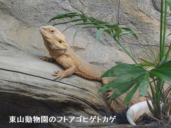 東山動物園のフトアゴヒゲトカゲ