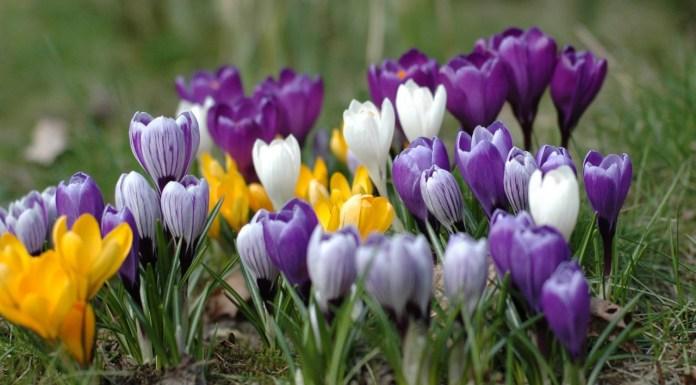 krokus blomster