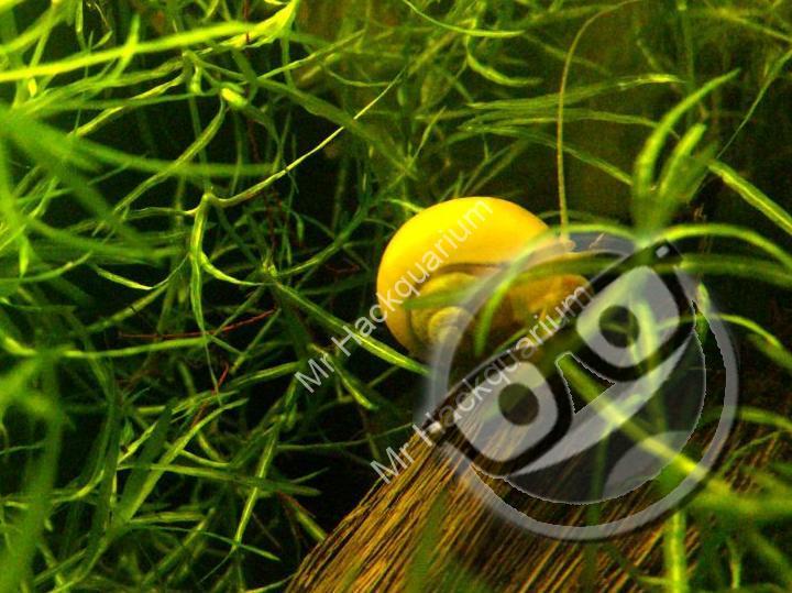 Escargot Ampullaire (Pomacea diffusa)