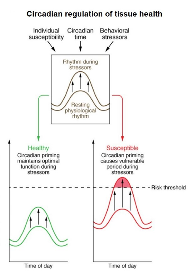 Circadian tissue function