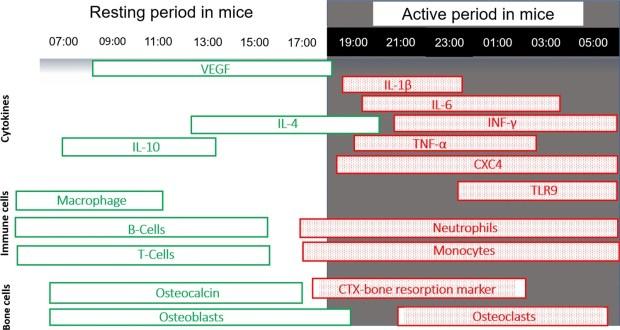 Bone healing circadian gene expression