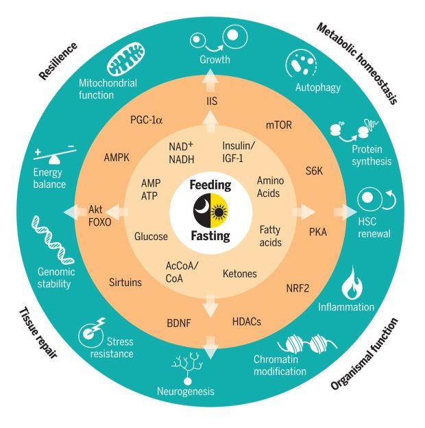 Metabolism circadian rhythms