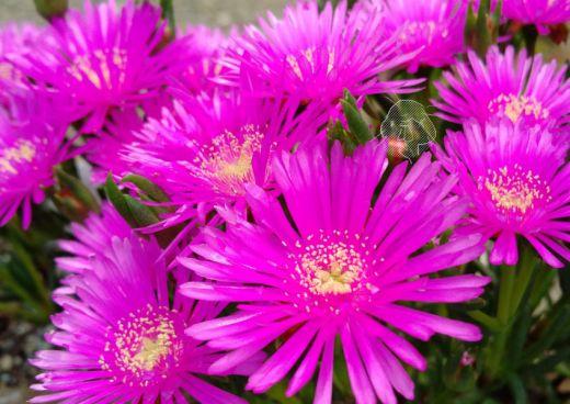 どピンクのお花