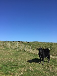 beautiful clear sky with cattle