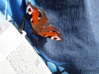 Schmetterlingsfreund