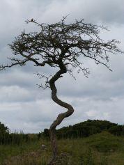 Hexenbaum auf dem Weg