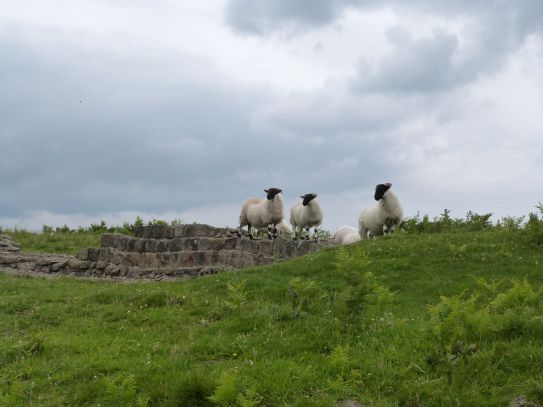 Schafe auf der Mauer