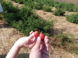 Noch mehr Tomaten