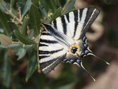 Ganz nebenbei beobachteten wir diesen traumhaften Schmetterling auf dem Philopappos-Hügel