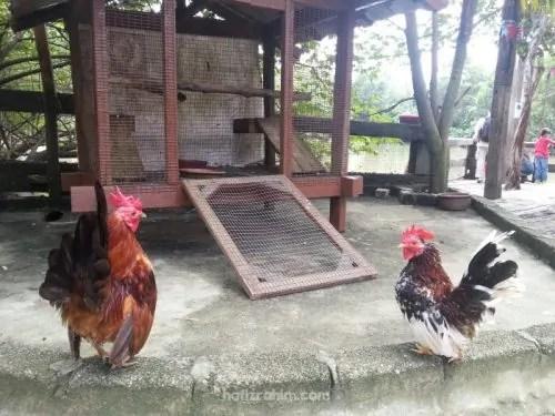 Ayam Serama FITC