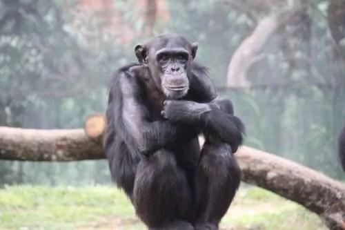 Cimpanzi Zoo Negara