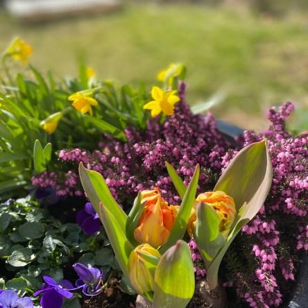 vårblomster, tulipaner, påskeliljer og lyng