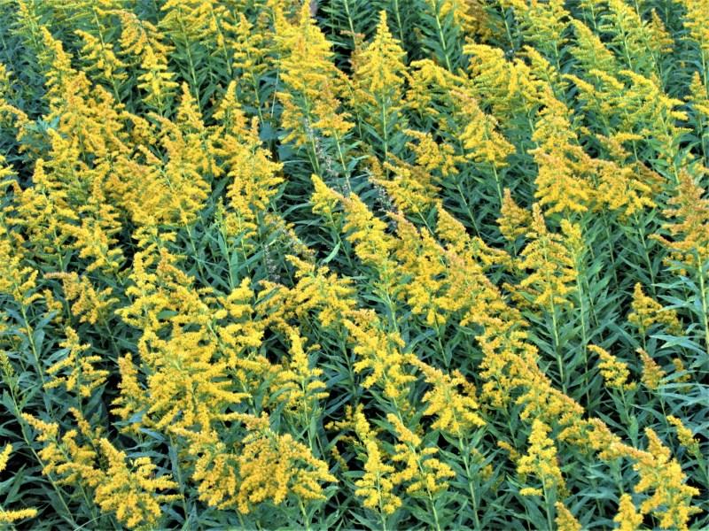 ブタクサによる花粉症?