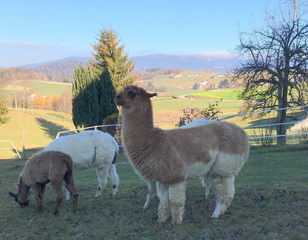 Lamas auf dem Gidi Hof