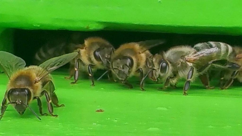 Bienen vom Aussterben bedroht