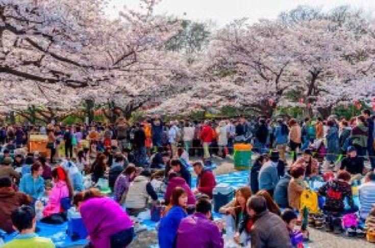 Hanami Piknik di Bawah Pohon Sakura