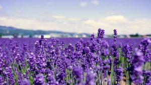 Lavender di Pusat kota Hokkaido