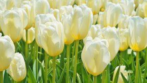Tulip di taman Tonami, Toyama Jepang