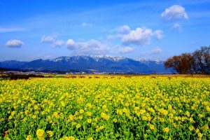 bunga Canola, atau bunga Nanohana dalam bahasa Jepang