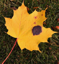 maple-leaf-with-a-tilak-by-sukhwinder1
