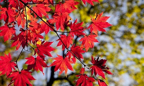 秋の季語『紅葉』