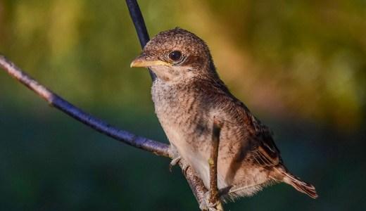 秋の季語『鵙(もず)または百舌鳥』
