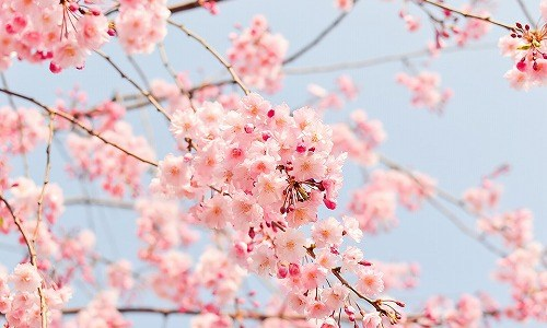 春の季語『桜』