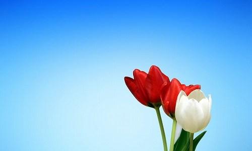 春の季語『チューリップ』