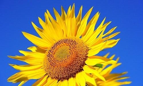 夏の季語『向日葵(ひまわり)』