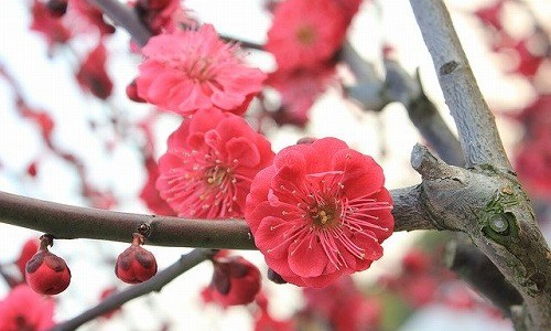 春の季語『梅(うめ)』