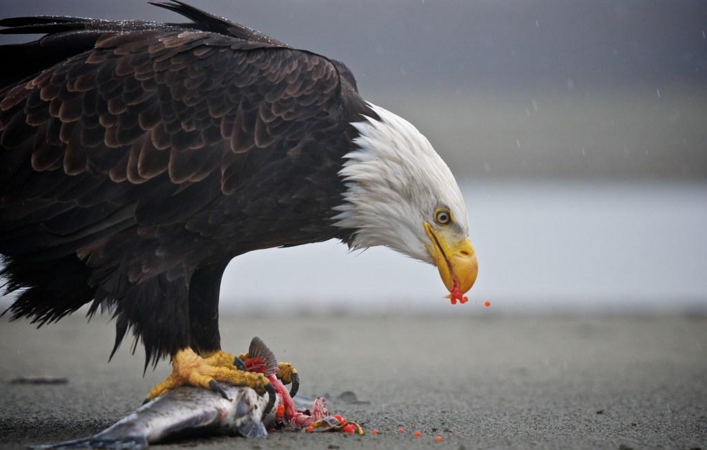 Eagle Preserve Raft Trip eagle on salmon