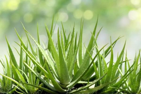 The Aloe Vera Plant