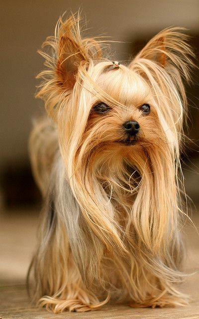 Yorkies Clipart Male 10