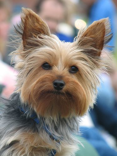 Prev Next Yorkie Haircut Styles