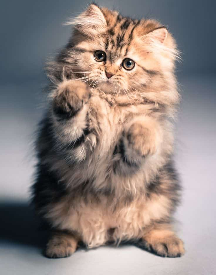 Cute Kitten Fluffy Cat