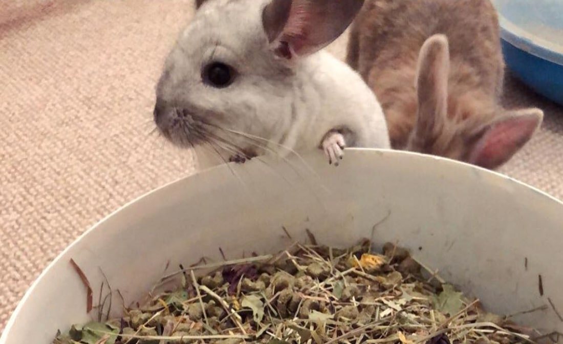 What do Chinchillas Eat? Diet guide + Best Practices