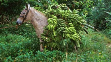 Bananas On Donkey 001