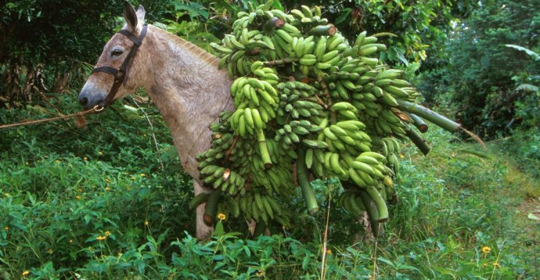 Bananas On Donkey 001